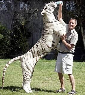 tiger 0.jpg